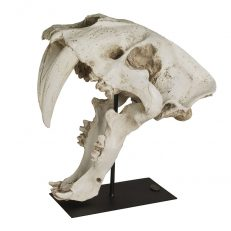 AR061-800_Sabre-Tooth-Cat-Skull-1